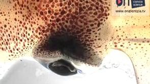 Pulsaciones  pigmentadas  del  calamar